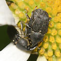 Snout Beetles mating + 1 - Odontocorynus umbellae - male - female