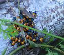 Baby stinkbugs - Euthyrhynchus floridanus