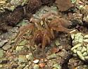 brown spider - Amaurobius ferox
