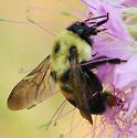 Brown-belted Bumblebee_Bombus griseocollis - Bombus - female