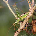 Katydid - Obolopteryx castanea - male