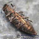 Beetle - Dicerca lurida
