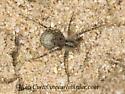 9047792 Lycosid - Pardosa - female