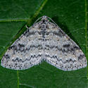 Unknown Moth - Lobophora