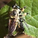 Robber Fly - Megaphorus clausicellus