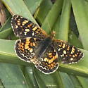 Field  or California Cresent? - Phyciodes pulchella - male
