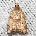 Moth unknown - Coelostathma discopunctana