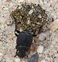 Small Tumblebug - Canthon