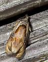 Mississippi moth - Zomaria interruptolineana