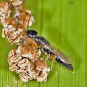termite? - Epyris - female