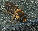 Andrena ? - Andrena