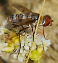 Fly - Exoprosopa