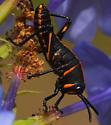day old lubber - Romalea microptera