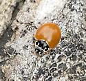 Cycloneda munda - Polished Lady Beetle - Cycloneda munda