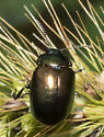 Bronze-green beetle - Chrysolina