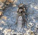 melanistic Scaeva - Scaeva pyrastri - female