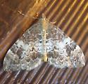 Geometrid Moth Aug 9 - Dysstroma