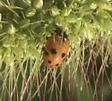 Seven spotted Ladybug  - Hippodamia