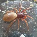 spider - Dysdera crocata