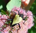 unidentified beetle - Pachyta armata