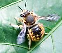 Anthidium manicatum or maculifrons - Anthidium manicatum - male