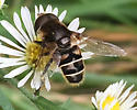 October drone fly - Eristalis dimidiata