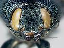 Juniperella mirabilis - female