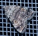 small moth found at night - Idia americalis