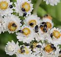 Dermestid beetle? - Bruchidius villosus