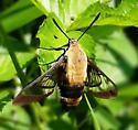 Hummingbird Moth? (Hemaris thyshe) - Hemaris diffinis
