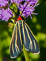 Red-faced Fly - Ctenucha venosa
