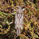 Flat-faced Longhorned Beetle - Lepturges pictus
