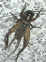 What kind of cricket? - Gryllus