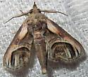 Eyed Paectes - Paectes oculatrix - male