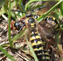 #3 Sexual Behavior of - Colpa octomaculata - male - female
