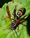 Wasp from Oregon - Mischocyttarus flavitarsis