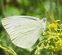 Butterfly - Pieris rapae