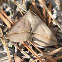 Day-flying Moth Visiting Kalmia buxifolia - Argyrostrotis flavistriaria