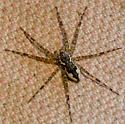 Dolomedes sp.? fishing spider