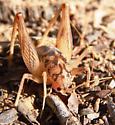 Camel cricket, Ceuthophilus? - Ceuthophilus variegatus - male
