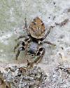 Jumping Spider? - Evarcha hoyi