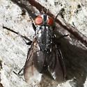 Dark-winged Fly - Dorsal