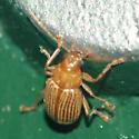 Tiny striped beetle - Colaspis brunnea