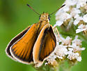 Orange & Brown Butterfly - ID? - Thymelicus lineola