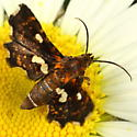 Moth - Thyris maculata