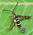 Synanthedon species possibly on milkweed leaf - Synanthedon bibionipennis