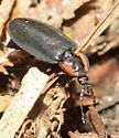 beetle - Ellychnia