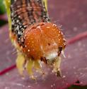 Caterpillar - Erannis tiliaria