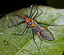 unidentified Reduviidae - Zelus longipes