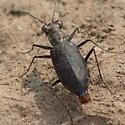 Faintly marked ground beetle - Cicindelidia punctulata